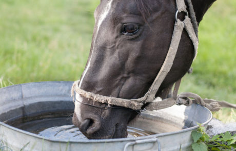 Horse drinking out of a water bucket