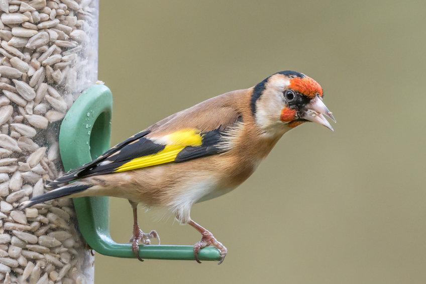 Goldfinch on a bird feeder